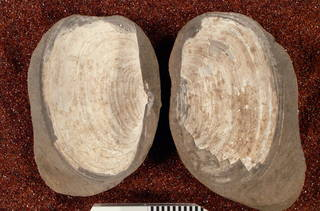 To NMNH Paleobiology Collection (USNM PAL 3479)