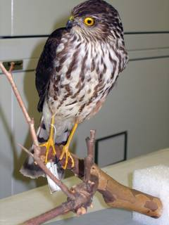 To NMNH Extant Collection (USNM 608258 - 3 Accipiter striatus)