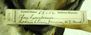 To NMNH Extant Collection (USNM 55102 - 4 Chen caerulescens)