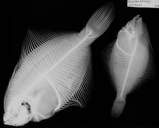 To NMNH Extant Collection (Euchalarodus putmani USNM 5368 syntypes radiograph)