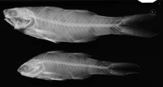 To NMNH Extant Collection (Polyneums octonemus USNM 739 syntypes radiograph lateral view)