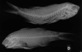 To NMNH Extant Collection (Polydactylus zophomus USNM 55598 paratypes radiograph lateral view)