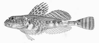 To NMNH Extant Collection (Artediellus camchaticus P01292 Illustration)
