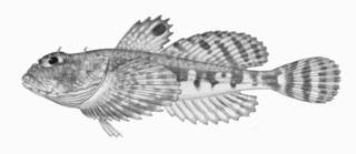 To NMNH Extant Collection (Artediellus miacanthus P01293 Illustration)