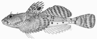 To NMNH Extant Collection (Artedillus ochotensis P01294 Illustration)