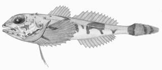 To NMNH Extant Collection (Artediellus atlanticus P01291 Illustration)