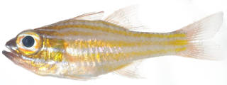 To NMNH Extant Collection (Apogon properupta USNM 378746 photograph lateral view)