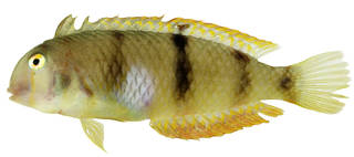 To NMNH Extant Collection (Xyrichthys aneitensis USNM 385663 photograph lateral view)