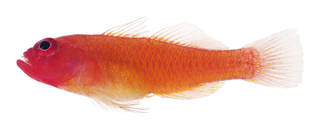 To NMNH Extant Collection (Trimma benjamini USNM 378643 photograph lateral view)