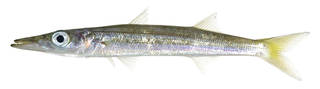 To NMNH Extant Collection (Sphyraena USNM 379235 photograph lateral view)