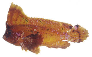 To NMNH Extant Collection (Ablabys taenianotus USNM 379115 photograph lateral view)