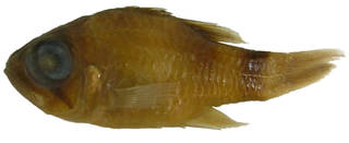 To NMNH Extant Collection (Nectamia viria USNM 319149 holotype photograph lateral view)
