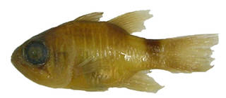 To NMNH Extant Collection (Apogon similis USNM 213123 holotype photograph lateral view)