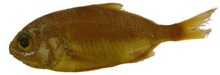 To NMNH Extant Collection (Polymixia lowei USNM 185401 photograph lateral view)