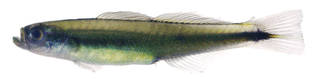To NMNH Extant Collection (Parioglossus USNM 278734 photograph lateral view)