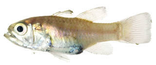 To NMNH Extant Collection (Apogon ellioti USNM 179149 photograph lateral view)