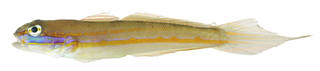 To NMNH Extant Collection (Valenciennia USNM 379142 photograph lateral view)