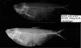 To NMNH Extant Collection (Ilisha argentata USNM 81749 holotype radiograph lateral view)
