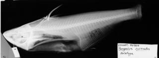 To NMNH Extant Collection (Pangasius cultratus USNM 90306 holotype radiograph lateral view)