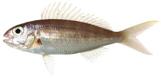 To NMNH Extant Collection (Nemipterus peronii USNM 379126 photograph lateral view)
