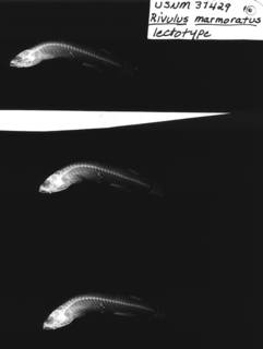To NMNH Extant Collection (Rivulus marmoratus USNM 37429 lectotype radiograph lateral view)