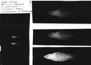 To NMNH Extant Collection (USNM 120285 syntype radiograph lateral view)