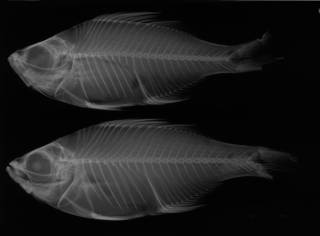 To NMNH Extant Collection (Xenichthys xenurus USNM 4356 lectotype radiograph lateral view)