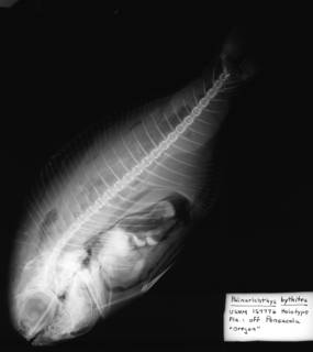 To NMNH Extant Collection (USNM 157776 radiograph lateral view)