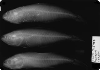 To NMNH Extant Collection (USNM 305964 radiograph lateral view)