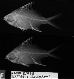 To NMNH Extant Collection (Diapterus evermanni USNM 81738 holotype radiograph lateral view)