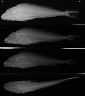 To NMNH Extant Collection (Thyriscus anoplus USNM 74368 holotype radiograph lateral view)