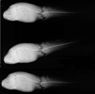To NMNH Extant Collection (Liparis osborni USNM 87554 holotype radiograph lateral view)