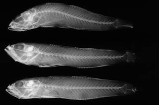To NMNH Extant Collection (Gnatholepis calliurus USNM 51944 holotype radiograph lateral view)
