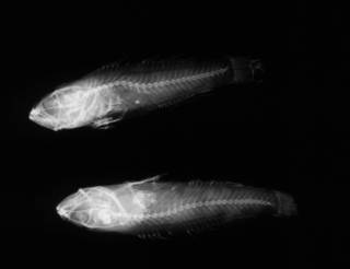 To NMNH Extant Collection (USNM 106537 paratype radiograph lateral view)