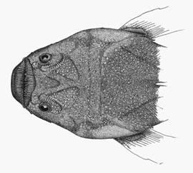 To NMNH Extant Collection (Astroscopus zephyreus P01354 illustration)