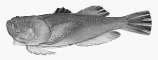 To NMNH Extant Collection (Astroscopus zephyreus P01355 illustration)