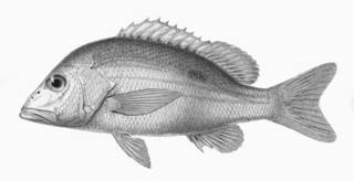 To NMNH Extant Collection (Lutjanus mahogoni P15116 illustration)