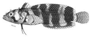 To NMNH Extant Collection (Auchenopterus cingulatus P01393 illustration)
