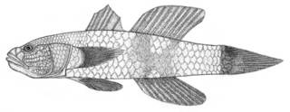 To NMNH Extant Collection (Aulopareia janetae P01398 illustration)