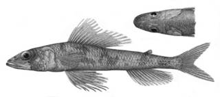 To NMNH Extant Collection (Aulopus nanae P01400 illustration)