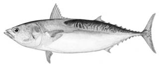 To NMNH Extant Collection (Auxis thazard P01416 illustration)