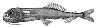 To NMNH Extant Collection (Astronesthes niger P07565 illustration)
