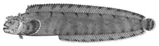 To NMNH Extant Collection (Azuma iroconis P01423 illustration)