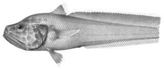 To NMNH Extant Collection (Bathygadus spongiceps P01663 illustration)