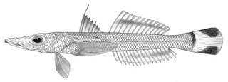 To NMNH Extant Collection (Bembrops filifer P01738 illustration)