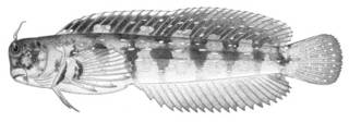 To NMNH Extant Collection (Blennius ellipes P01817 illustration)