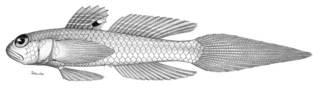 To NMNH Extant Collection (Bollmannia boqueronensis P01890 illustration)