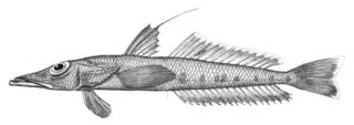 To NMNH Extant Collection (Bembrops anatirostris P06237 illustration)