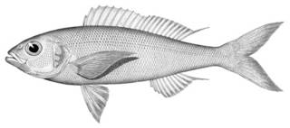 To NMNH Extant Collection (Bowersia ulaula P02004 illustration)