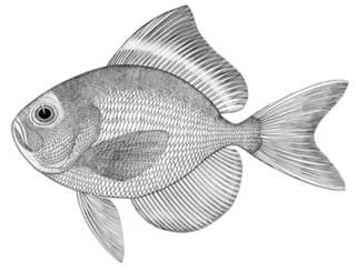 To NMNH Extant Collection (Brama leucotaenia P02068 illustration)